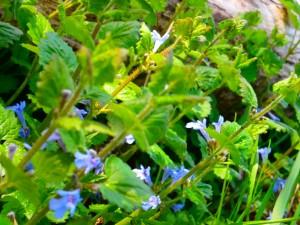 lierre terrestre: découvrir les plantes sauvages et leurs utilisations