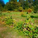 association plantes sauvages et legumes