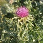 plantes hepato restauratrice